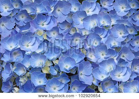 Hydrangea Flower Background