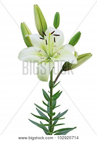 Single Lily Plant
