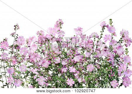 Musk-mallow Flower