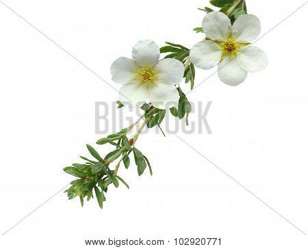 Mckay's White Potentilla Flower