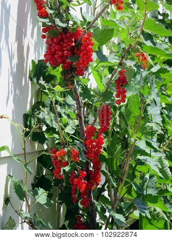 Red Currant Plant