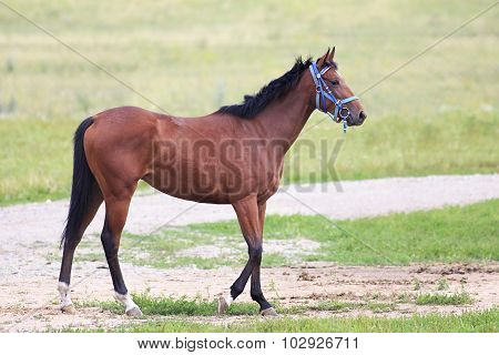 Beautiful bay stallion Thoroughbred breed