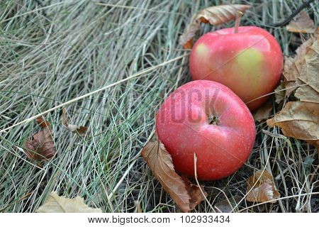Two red apples are on the dry grass among the fallen autumn leaves, place for your text