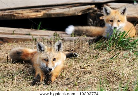 Two Baby Red Fox Kits Near Den