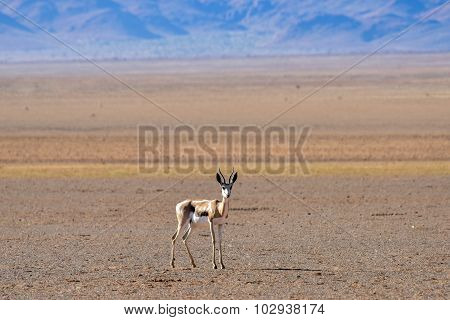 Gazelle And Desert Landscape - Namibrand, Namibia