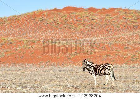 Zebra And Desert Landscape - Namibrand, Namibia
