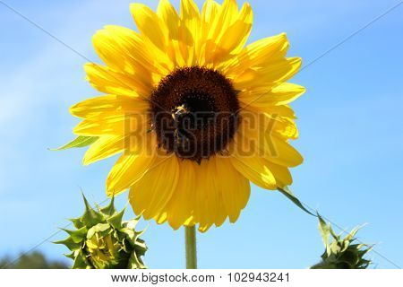 Beautiful Bright Sunflower in the Green Field and sky background
