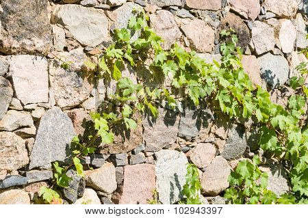 Limestone Wall Covered By Virginia Creeper (parthenocissus)