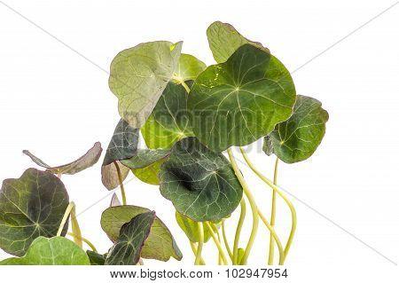 Edible Tropaeolum Majus Leaves, Nasturtium Leaf