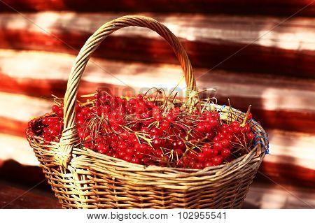 Red Ripe Viburnum Berries In The Basket