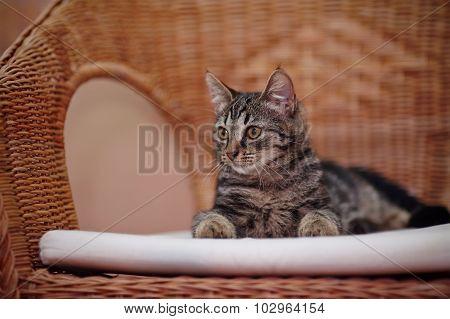 Striped Domestic Kitten Lies On A Wicker Chair