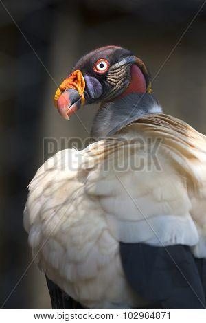 Portrait of a king vulture Sarcoramphus papa