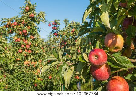 Red Apples Waiting For Pickers