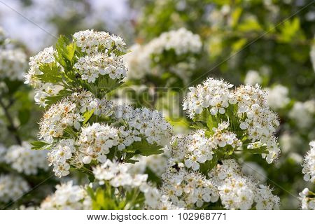 Flowers Of Hawthorn .