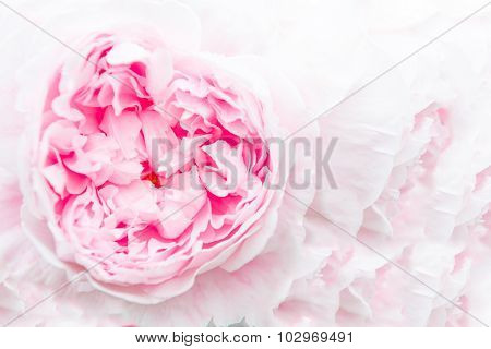 Closeup Of A Beautiful Pink Peony On A Pink Background