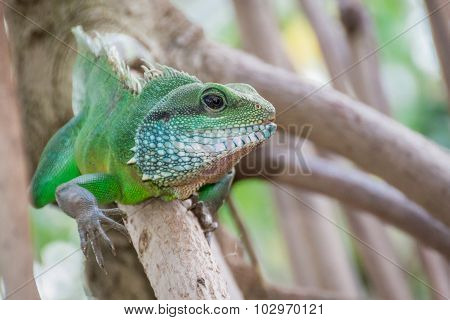 Green Iguana Climbing On Branch