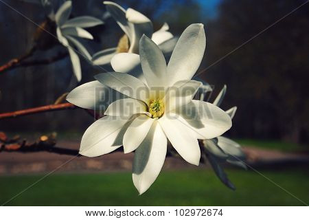 Creamy Blossom Of Magnolia Tree. Vintage Photo.
