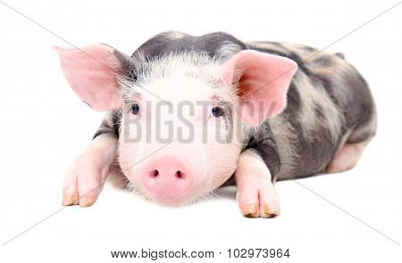 Portrait of the little pig
