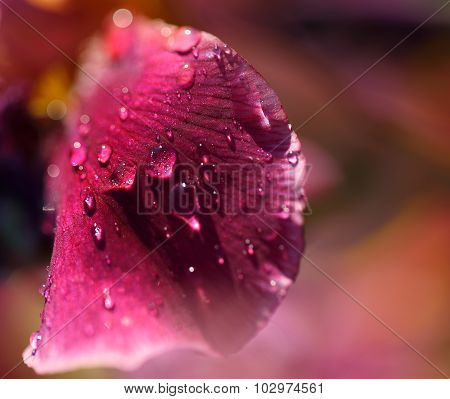 Dew Drop On A Pink Petal