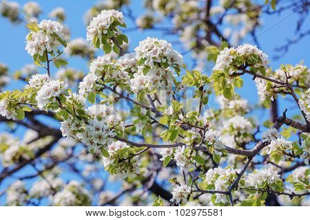 Cherry-plum Flowers