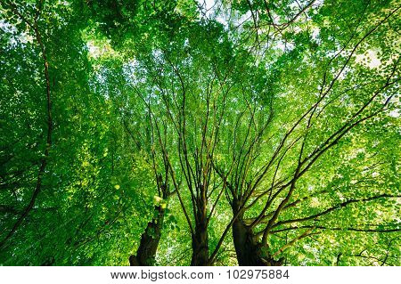 Spring Summer Green Canopy Of Tall Trees. Sunlight In Deciduous