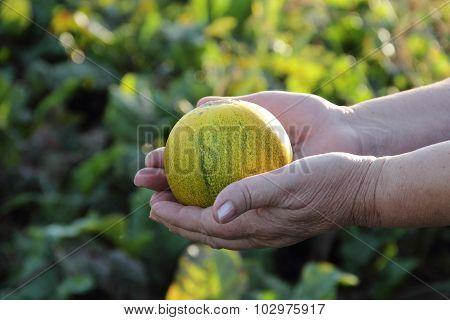 Ripe Melon In Hands Of The Elderly Woman