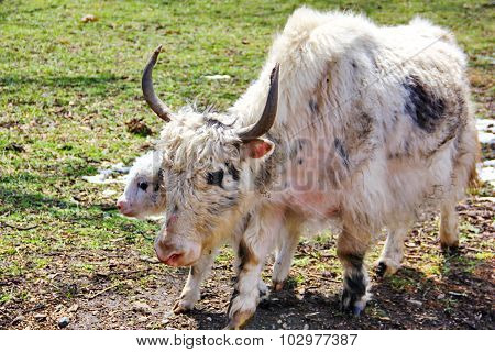 yak mother and calf