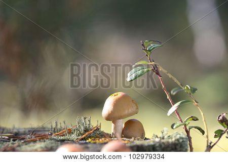 Forest edible mushroom Cap ringed. Rozites caperatus
