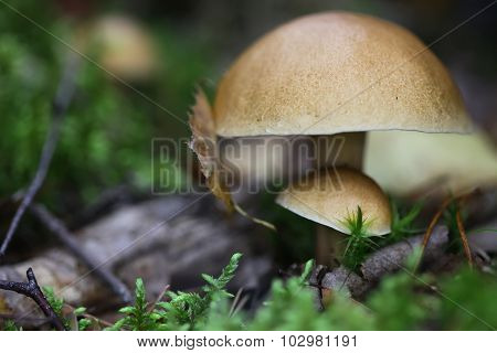 Griop of edible mushrooms in the forest