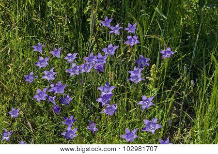 Delicate purple wildflower harebell (Campanula patula) on meadow