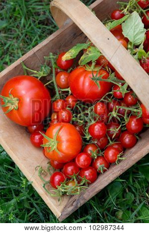 Cherry Tomatoes And Their Big Cousins Together In A Wooden Basket