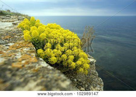 Yellow Flowers Of The Shrub Alyssum .