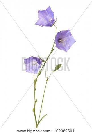 Three bellflowers isolated on white. Campanula rotundifolia