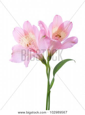 Two Alstroemeria flowers isolated on white background.