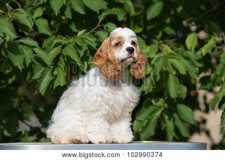 adorable white and red american cocker spaniel dog