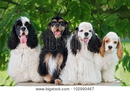 group of american cocker spaniel dogs