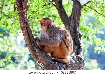 Rhesus Makaque Monkey