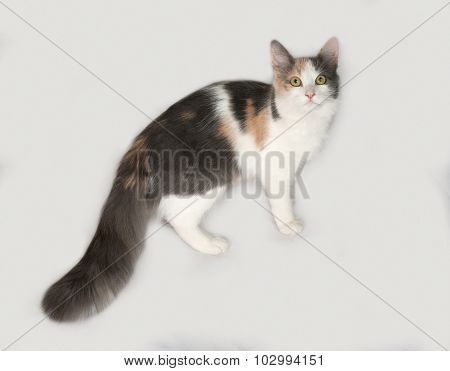 Tricolor Cat Standing On Gray