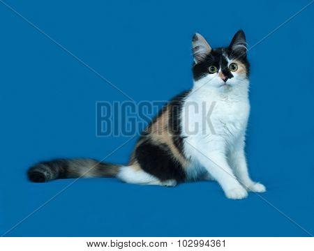 Tricolor Fluffy Kitten Sitting On Blue