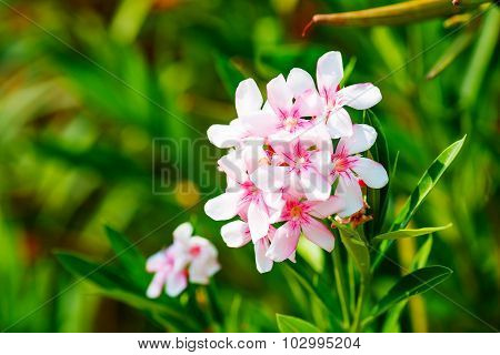 White and Pink Nerium Oleander Flowers