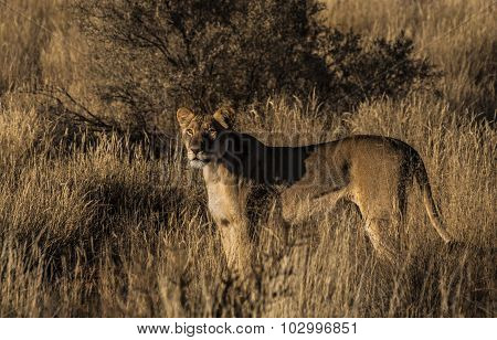 African lioness in the Kalahari.