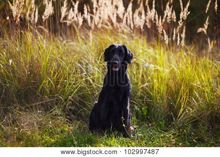 Black Retriever Sits Amid Tall Grass