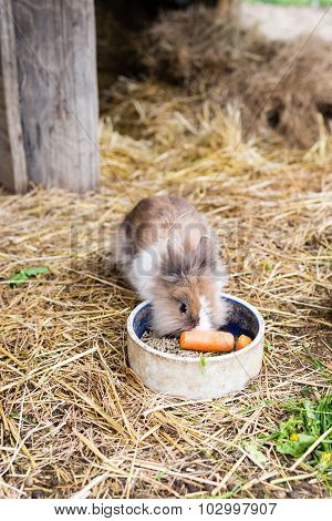 Rabbit Eating Carrot From Food Bowl