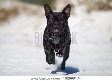 French Bulldog Running Outdoors In Nature