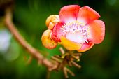 stock photo of cannonball-flower  - A beautiful macro shot of a flower from the unusual cannonball tree  - JPG