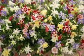 image of columbine  - Aquilegias on display at Chelsea Flower Show - JPG
