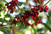 picture of christmas wreath  - red and green holly leaves and berries play in the early morning light it must be close to christmas - JPG