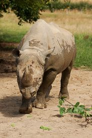 picture of wallow  - photo of a black rhino after being in the wallow - JPG