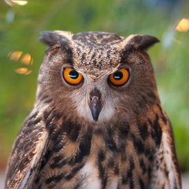 picture of owl eyes  - Eagle owl with orange eyes looking at the camera - JPG