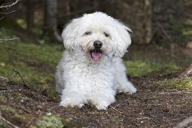 foto of cockapoo  - A small white Cockapoo dog pants as it takes a rest from a hike through a forest  - JPG